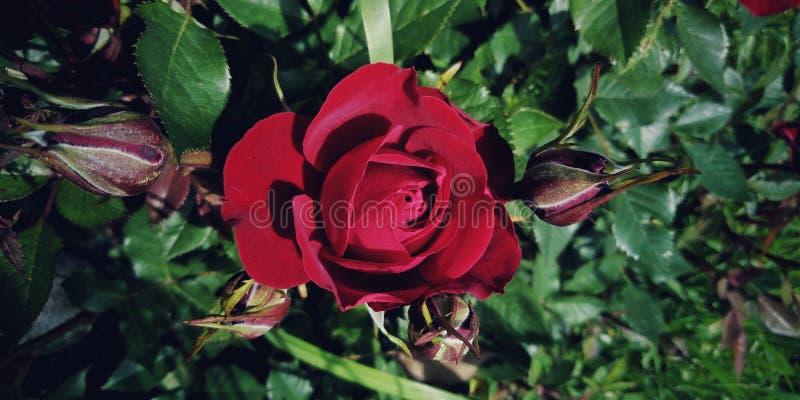 Czerwona pasja zdjęcie royalty free