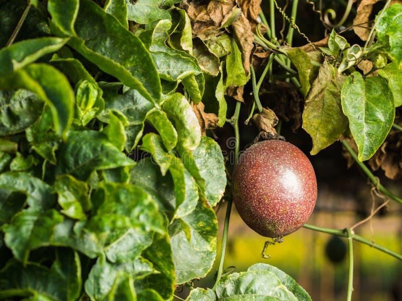 Czerwona pasyjna owoc obrazy stock
