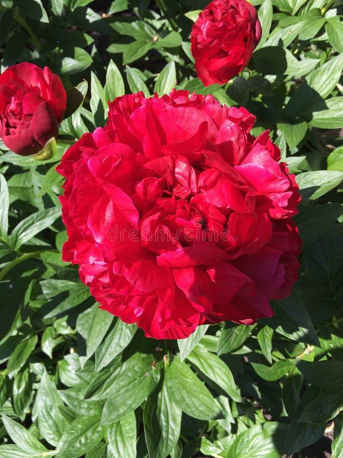 Czerwona peonia obrazy royalty free