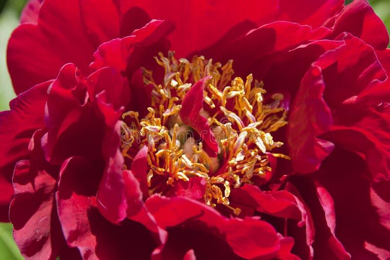 Czerwona peonia fotografia stock