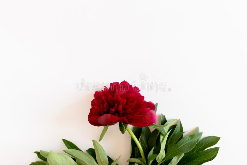 Czerwona peonia z zielonymi li??mi obrazy royalty free