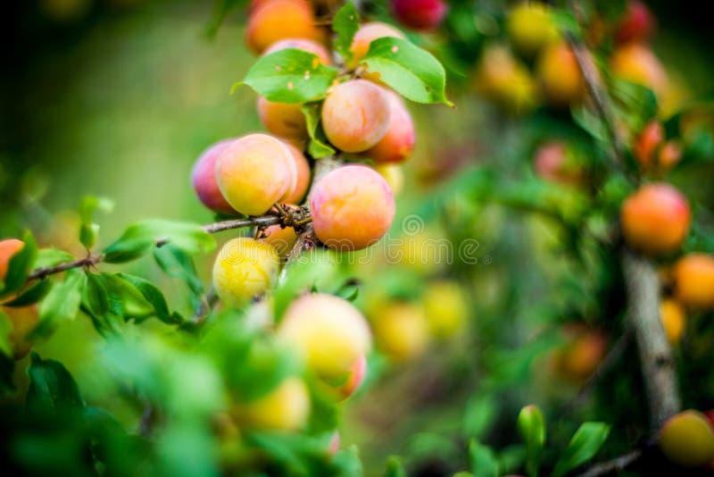 Czerwona pomarańczowa śliwka fotografia stock