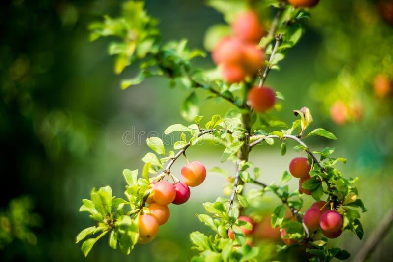 Czerwona pomarańczowa śliwka zdjęcia stock