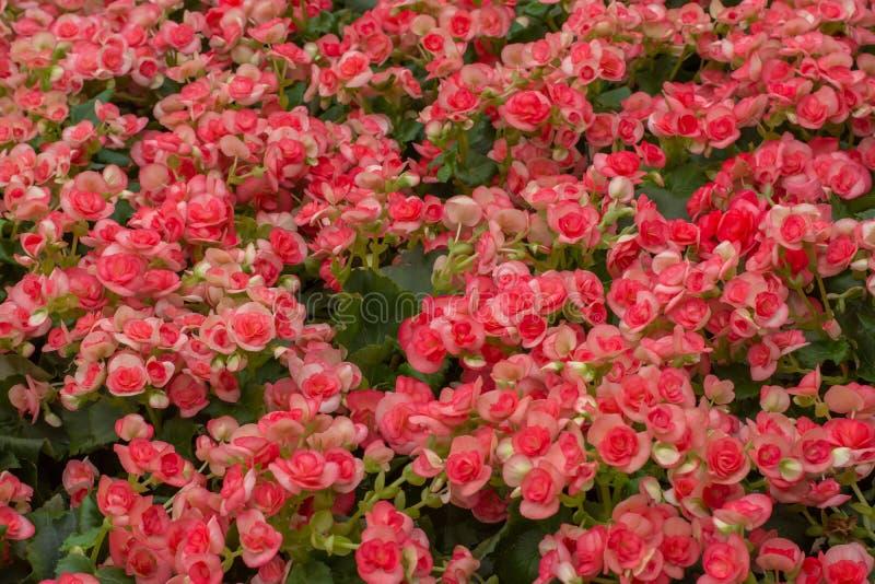 Czerwona Pomarańczowa begonia kwitnie w ogródzie obraz stock