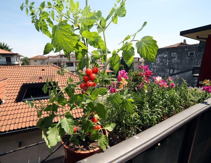 Czerwona pomidorowa roślina w balkonie zdjęcia royalty free