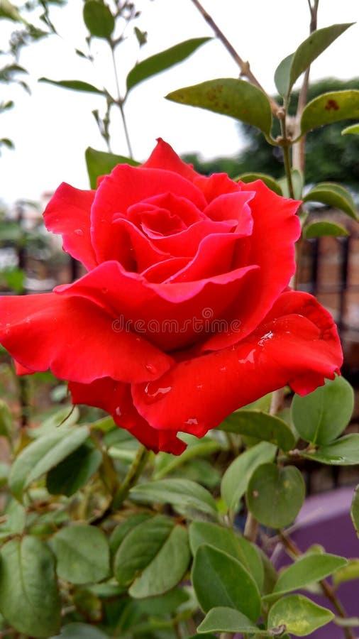 czerwona róża obraz royalty free