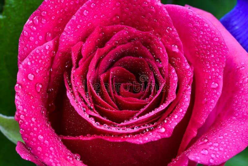 czerwona róża makro obrazy royalty free