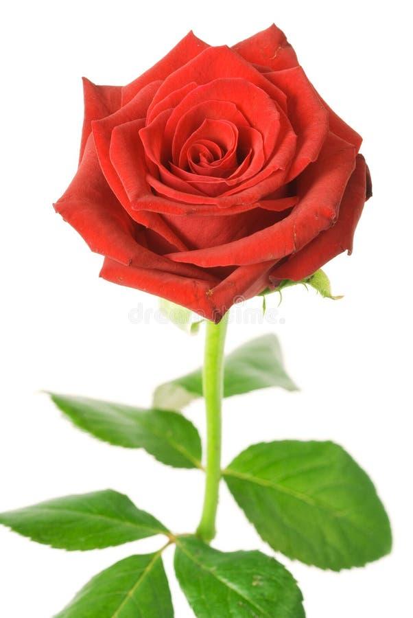 czerwona róża odizolowana zdjęcia royalty free
