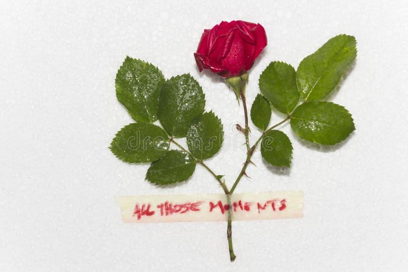 Czerwona róża po deszczu zdjęcia royalty free