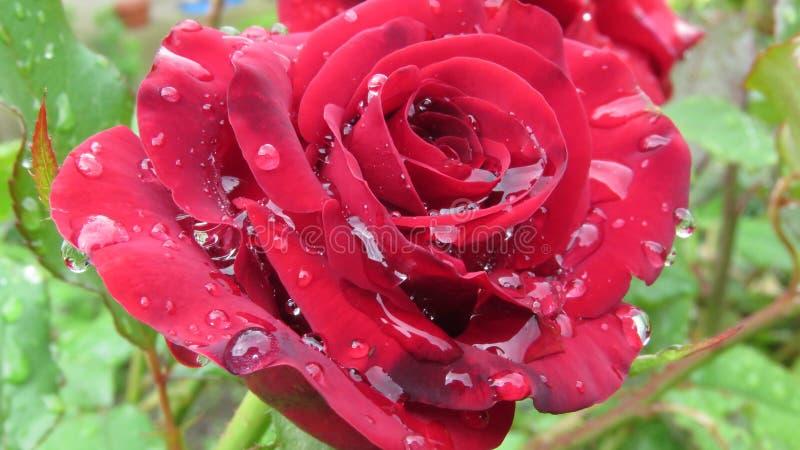 Czerwona róża pokryta świecącymi kroplami rosy deszczowej na niewyraźnym zielonym tle Letni kwiat ogrodowy zdjęcie stock