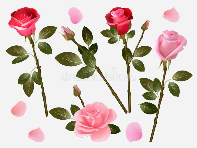 czerwona róża Rośliny miłości kwiatów czerwieni piękni pączki z zielenią opuszczają wektorową ziołową ilustracyjną kolekcję ilustracji