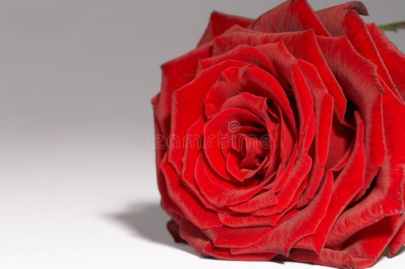 czerwona róża rote obraz stock