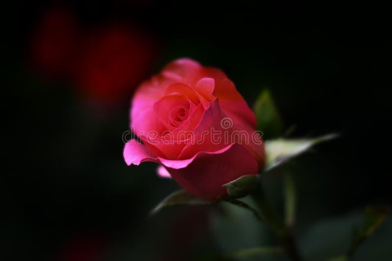 Czerwona Róża Bezpłatna Domena Publiczna Cc0 Obraz