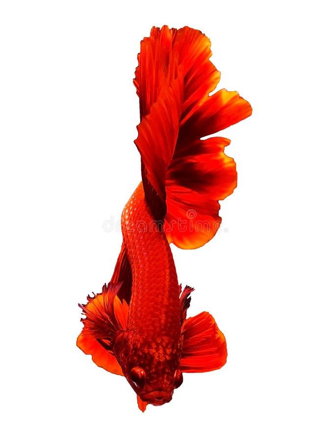 Czerwona Tajlandzka Betta boju siamese ryba obraz stock