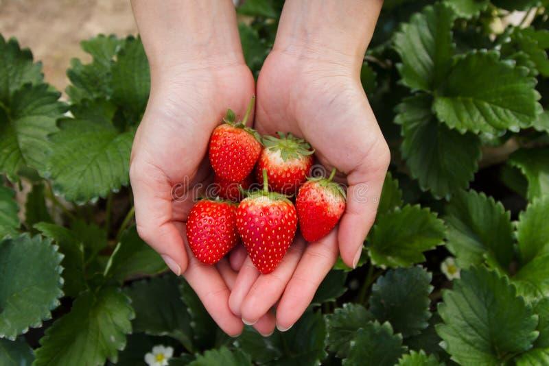 Czerwona truskawka na pięknej kobiety ręce z liściem i rośliną na tle fotografia stock
