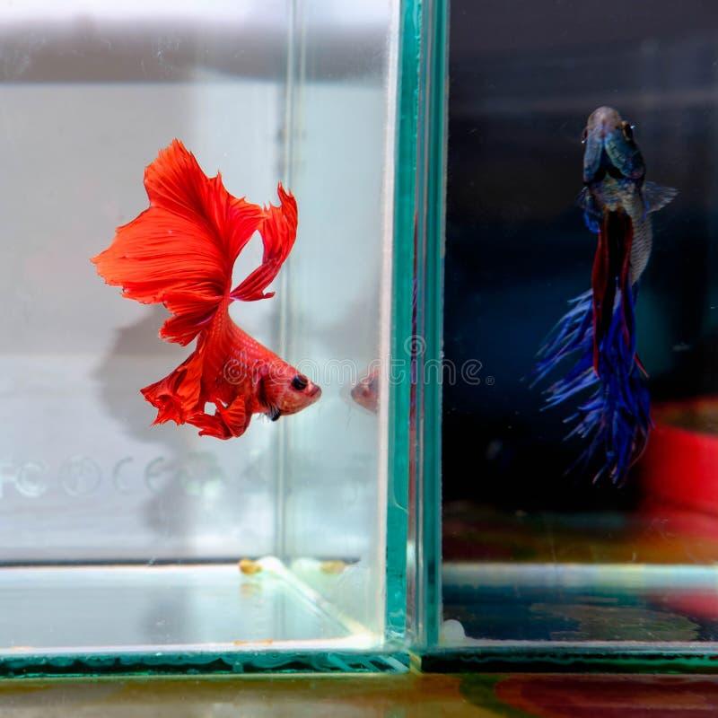 Czerwona walki ryba obrazy royalty free
