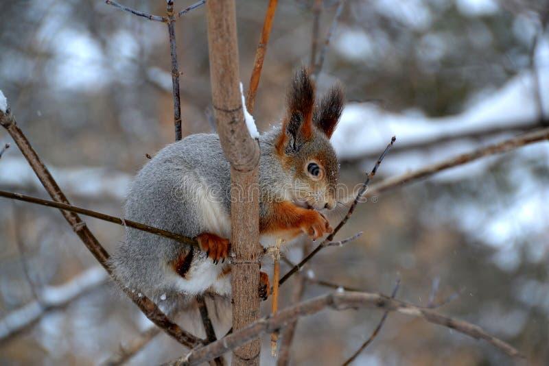 Czerwona wiewiórka je posiłek entuzjastycznie otrzymywającego na gałąź obraz stock