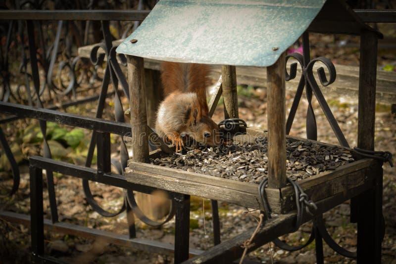 Czerwona wiewiórka je słonecznikowych ziarna w dozowniku przy cemeter obraz royalty free