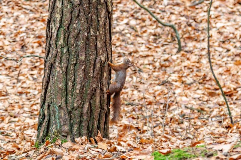 Czerwona wiewiórka na drzewie obrazy royalty free