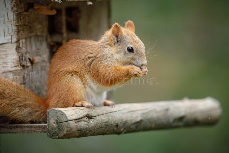 Czerwona wiewiórka na ptasim stole obraz stock