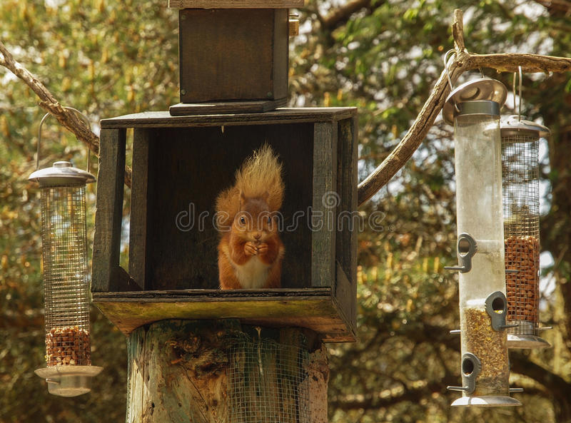 Czerwona wiewiórka przy karmienie stacją obrazy stock