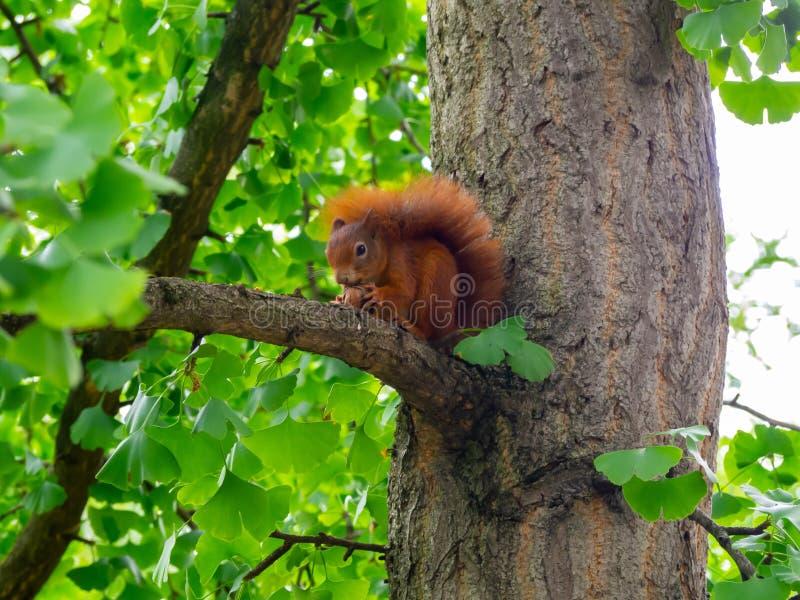 Czerwona wiewiórka siedząca na drzewie podczas jedzenia orzecha włoskiego fotografia stock
