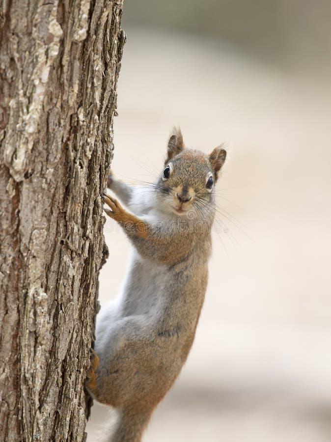 Czerwona wiewiórka wspina się drzewa w lesie w wiośnie obrazy stock