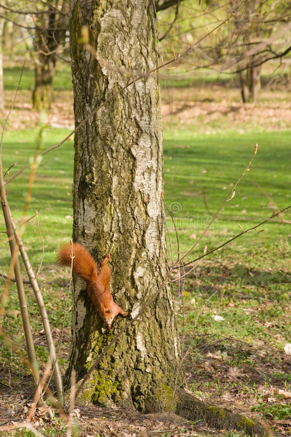 Czerwona wiewiórka wspina siÄ™ drzewa zdjęcie stock