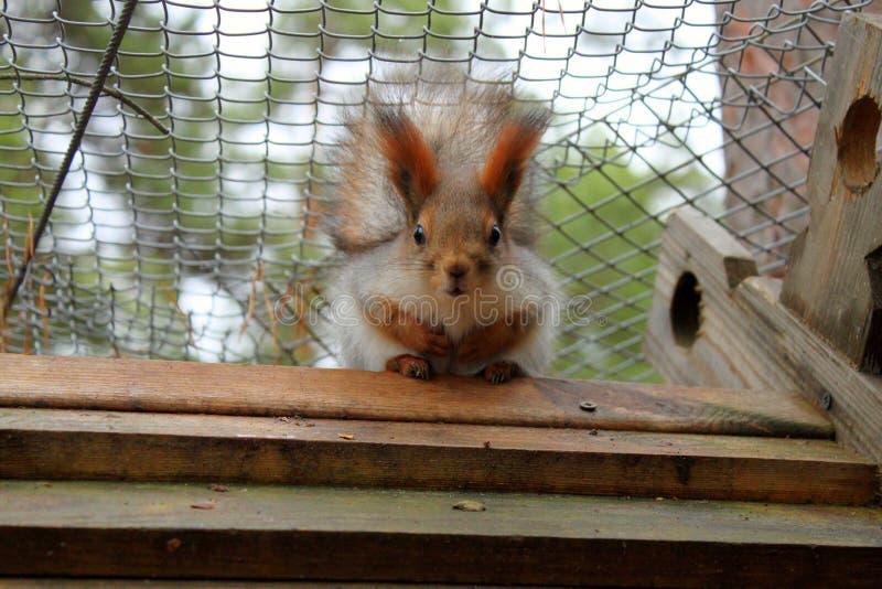 Czerwona wiewiórka z dużymi oczami zdjęcie stock
