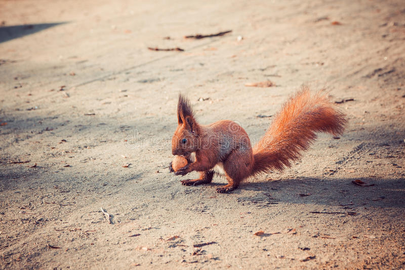 Czerwona wiewiórka z orzechem włoskim zdjęcie stock