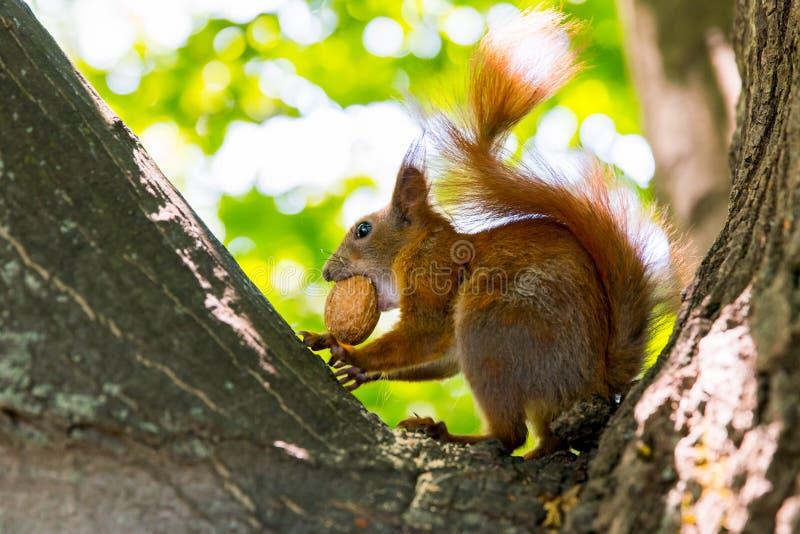 Czerwona wiewiórka z orzechem włoskim na drzewie zdjęcia stock