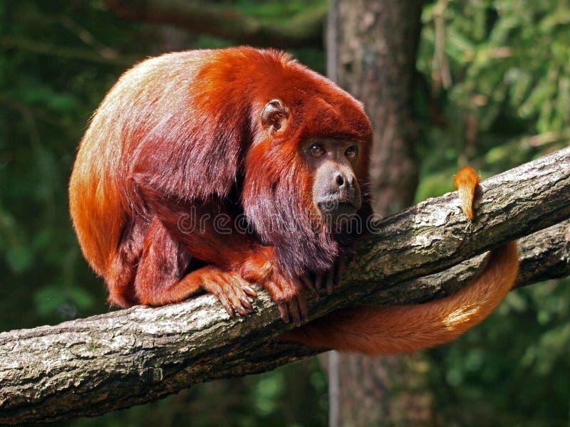 Czerwona wyjec małpa zdjęcie stock