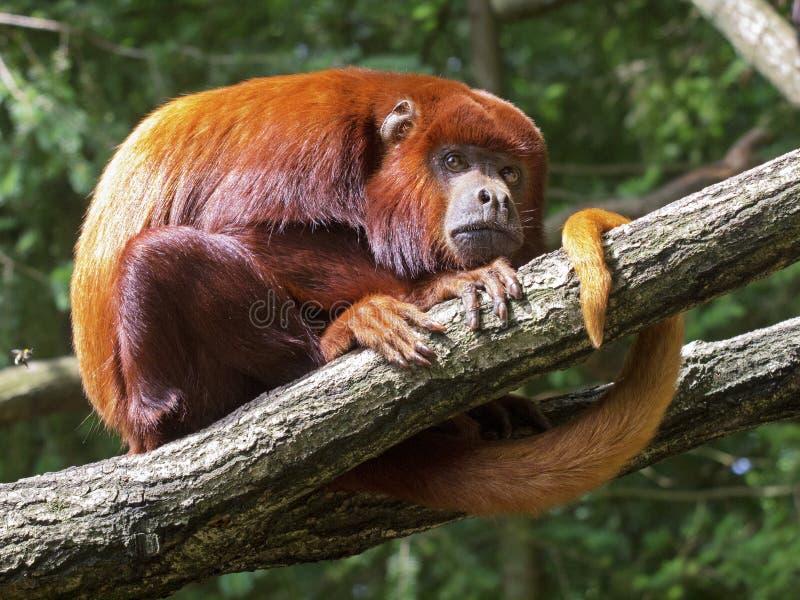 Czerwona wyjec małpa zdjęcia royalty free