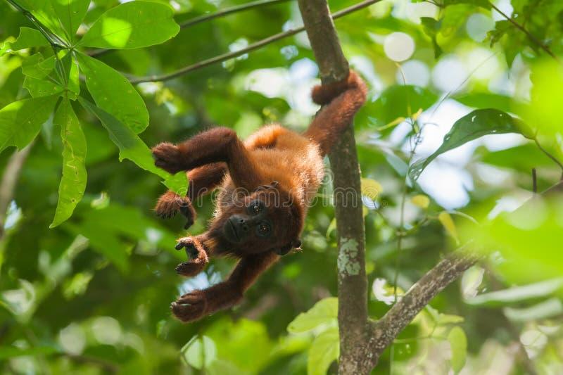 Czerwona wyjec małpa obraz stock