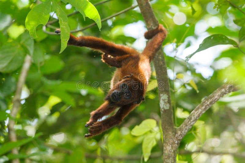 Czerwona wyjec małpa obrazy royalty free