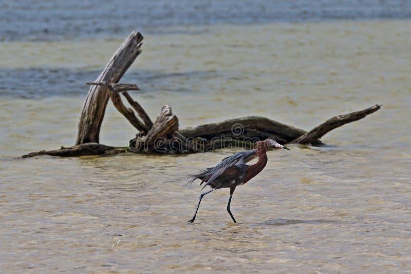 Czerwonawy Egret cienia polowanie w pływowym nawadnia przy Cancun Isla Blanca Meksyk obrazy royalty free