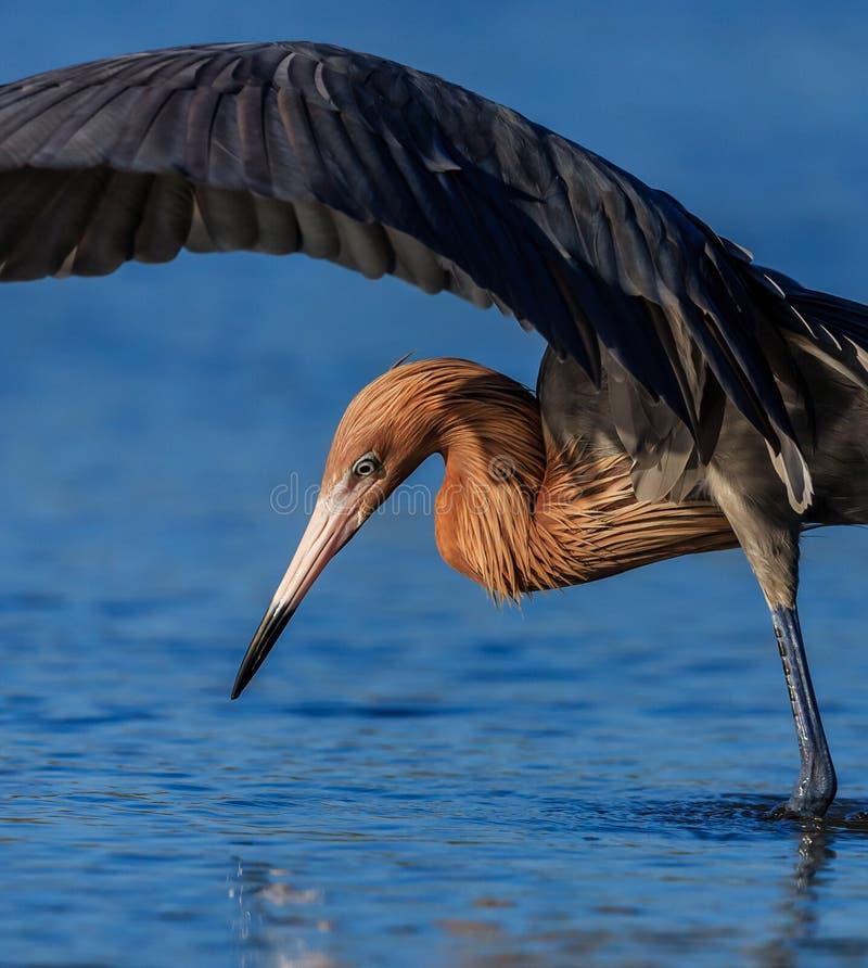 Czerwonawy Egret połów obraz stock