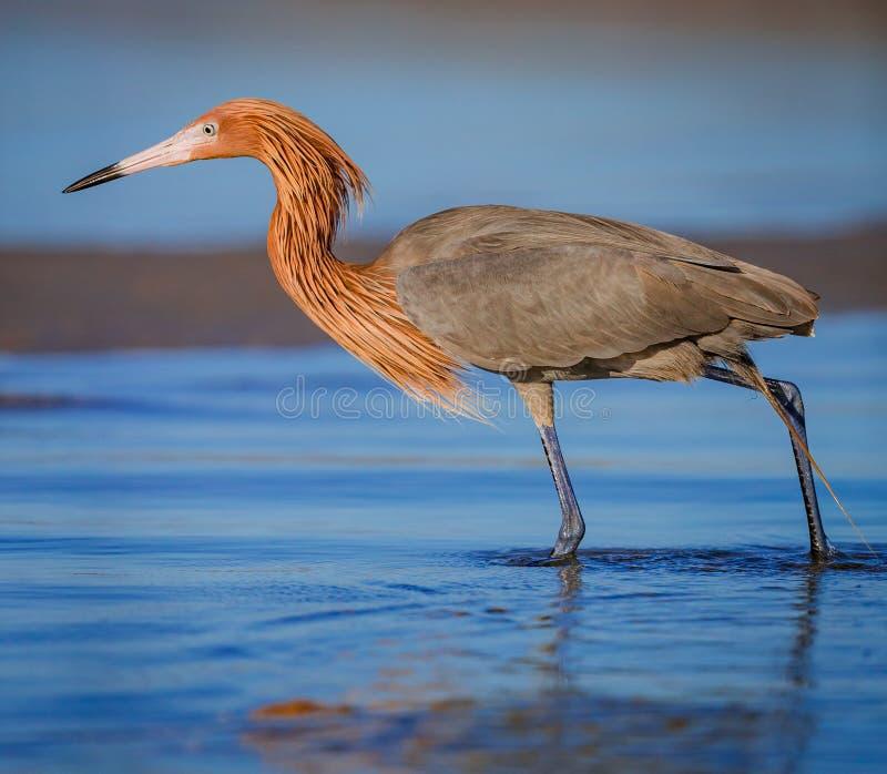 Czerwonawy egret połów podczas gdy przywdziewający jego czerwoną hodowlę upierza obraz royalty free