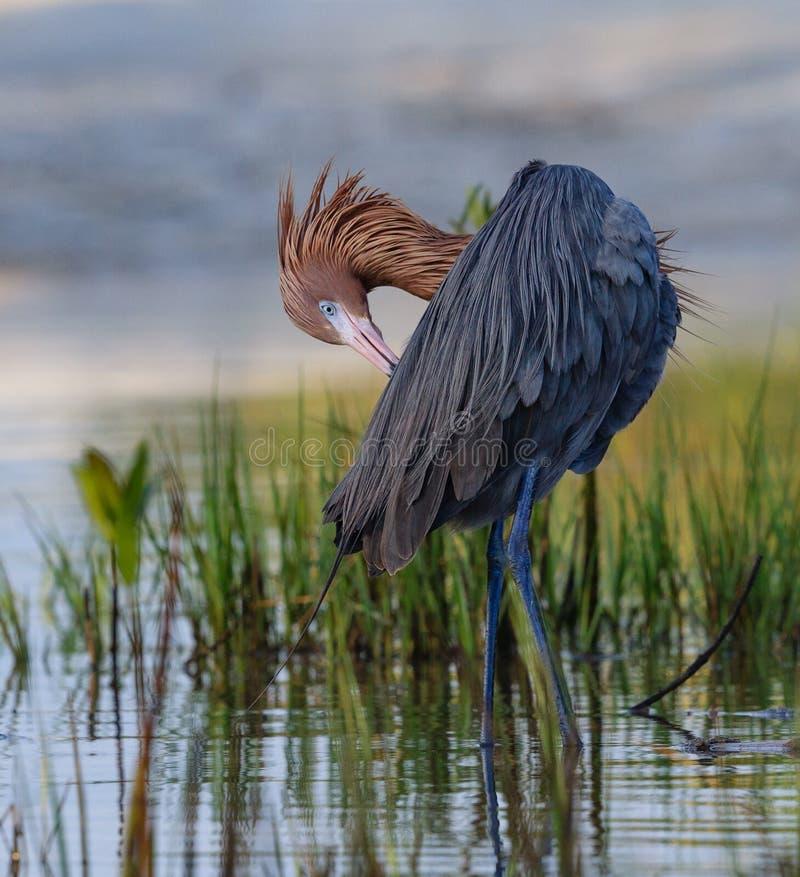 Czerwonawy Egret preening w niskiej wodzie, Floryda obrazy royalty free