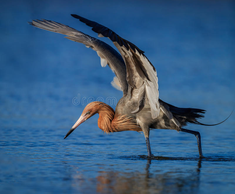Czerwonawy egret w lęgowym upierzenie połowie w stawie w Floryda zdjęcia stock