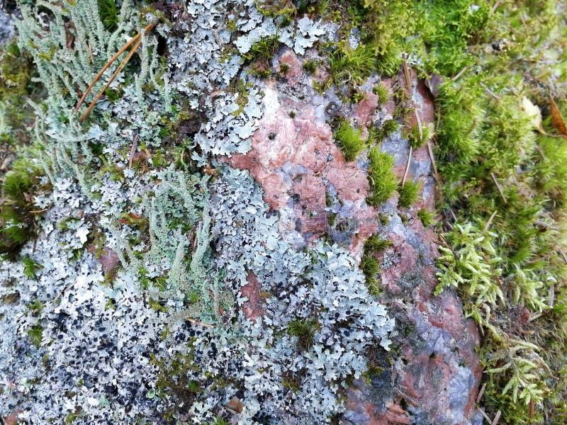 Czerwonawy granit przerastający z liszajem i mech w kolorowej zakończenie teksturze, tło zdjęcia stock