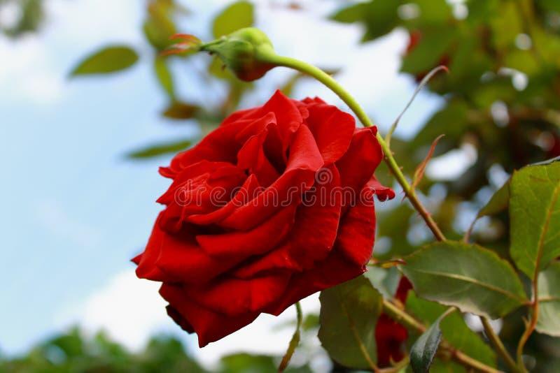 Czerwone aksamitne róże w słońcu obrazy royalty free