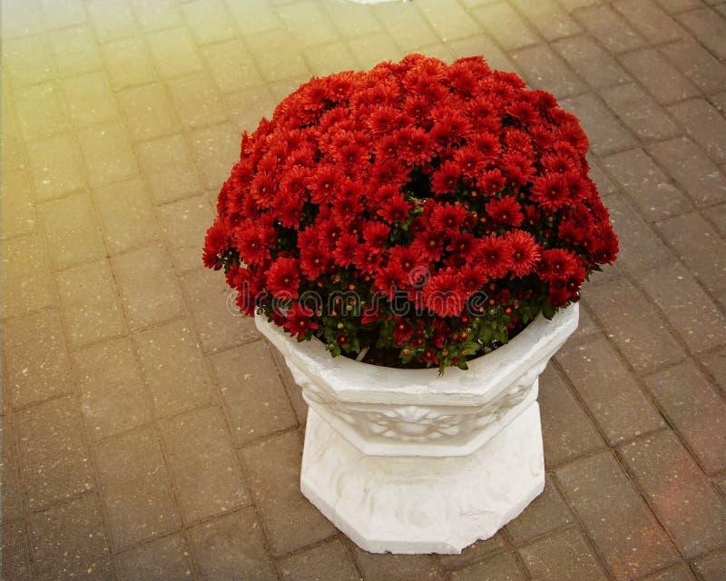 Czerwone chryzantemy w wielkim białym garnku outdoors w promieniach światło słoneczne zdjęcia royalty free