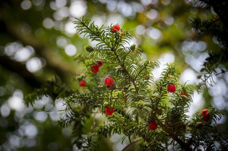 Czerwone Cisowe jagody obraz stock