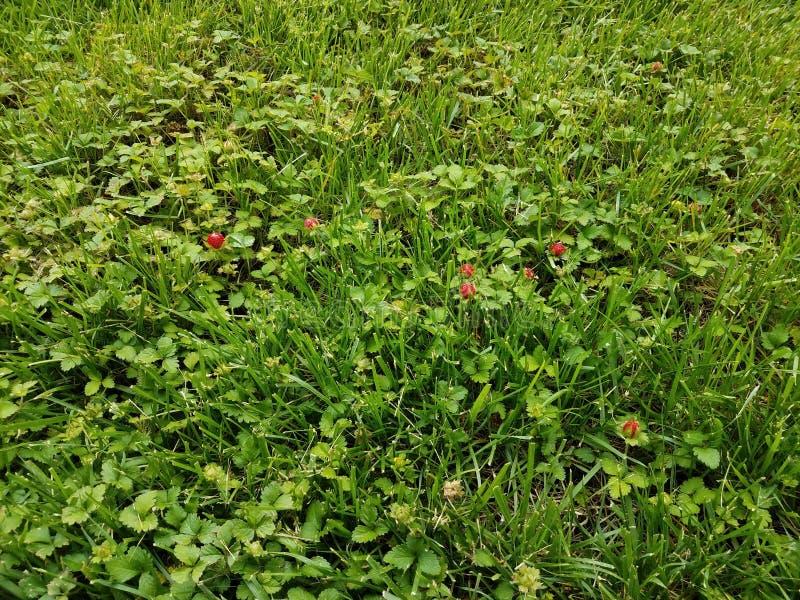Czerwone dzikie truskawki i zielona trawa na gazonie fotografia royalty free