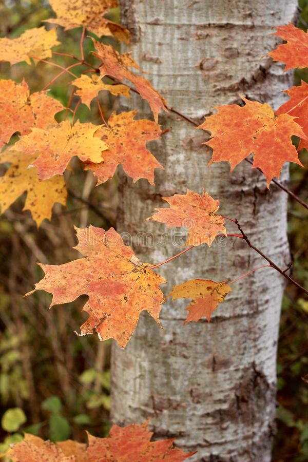 Czerwone i żółte jesienne liście zdjęcie stock