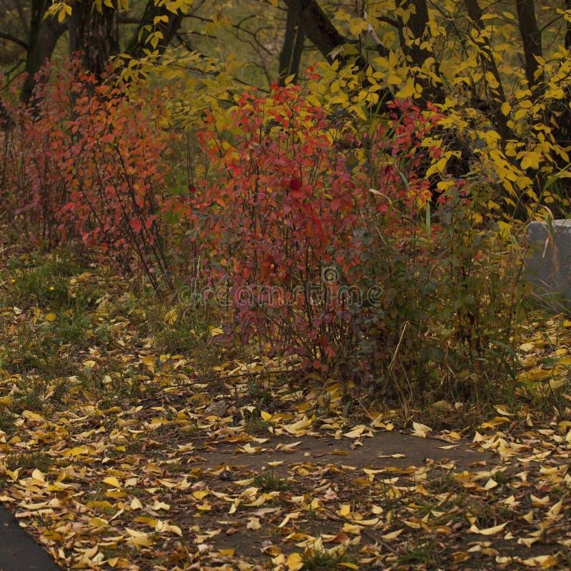 Czerwone I Złote Krzewy Jesienne I Spadające Liście obraz royalty free