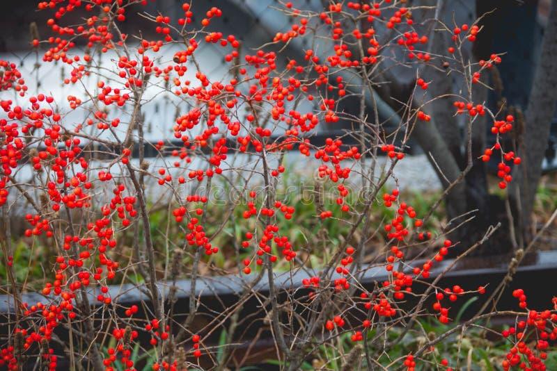 Download Czerwone jagody zdjęcie stock. Obraz złożonej z rośliny - 57670770