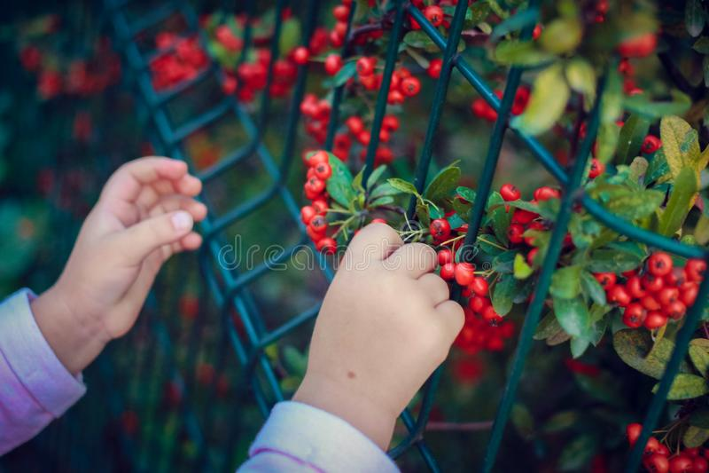 Czerwone jagody i dziecko obrazy royalty free