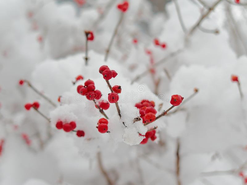 Czerwone jagody na śnieżnym drzewie, wioska Pfunds, Tyrol, Austria zdjęcia royalty free